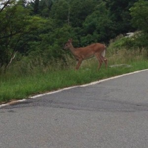 Deer at Grandfather Mountain
